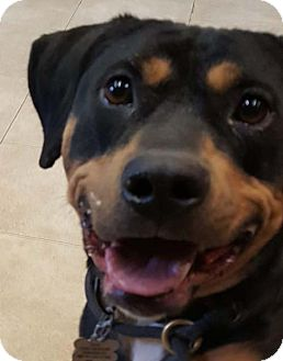 Rottweiler Dog for adoption in Hillsboro, New Hampshire - Hazel - Foster Needed!~