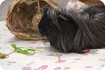 Guinea Pig for adoption in Brooklyn, New York - Zuzu