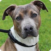 Adopt A Pet :: LOKI - Red Bluff, CA