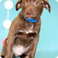 Adopt A Pet :: Archer - Waldorf, MD