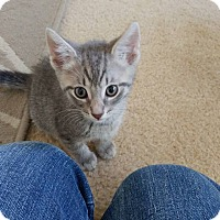 Adopt A Pet :: Fox - Hollywood, FL