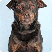 Adopt A Pet :: Muttley - Encinitas, CA