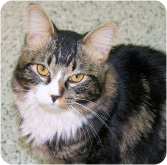 Domestic Mediumhair Cat for adoption in Edmonton, Alberta - Amy