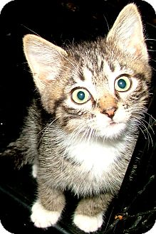 Domestic Shorthair Kitten for adoption in Chattanooga, Tennessee - Spunky