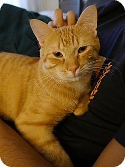 Domestic Shorthair Cat for adoption in Long Beach, New York - Trevor