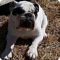 Adopt A Pet :: Bella - Chicago, IL