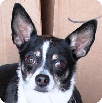 Chihuahua Dog for adoption in Gilbert, Arizona - Peanut