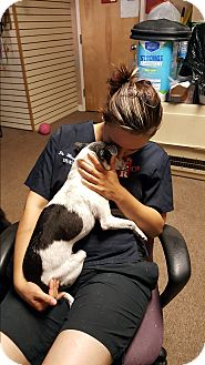 Chihuahua/Italian Greyhound Mix Dog for adoption in farmingville, New York - Louie Louie