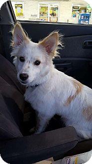 Eskimo Dog Mix Puppy for adoption in Lyndhurst, New Jersey - Tucker