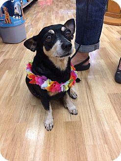 Miniature Pinscher/Dachshund Mix Dog for adoption in Waipahu, Hawaii - Little Guy aka Smalls