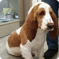 Basset Hound Dog for adoption in Monticello, Iowa - Dewey