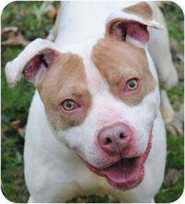 American Staffordshire Terrier/Pit Bull Terrier Mix Dog for adoption in Chicago, Illinois - Pinkie