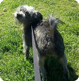 Cairn Terrier/Terrier (Unknown Type, Small) Mix Dog for adoption in Salt Lake City, Utah - MARKY MARK