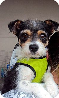 Jack Russell Terrier/Terrier (Unknown Type, Small) Mix Dog for adoption in San Diego, California - Porfirio