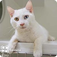 Adopt A Pet :: Santana - Merrifield, VA