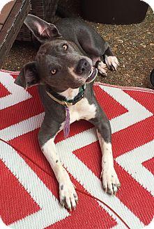 Weimaraner/Husky Mix Dog for adoption in KITTERY, Maine - DELTA