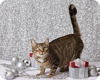 Domestic Shorthair Cat for adoption in Harrisonburg, Virginia - Merry Mary