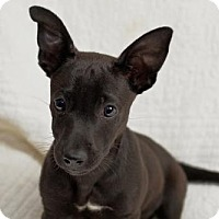 Adopt A Pet :: Baby Tuscan - Rockville, MD