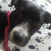 Adopt A Pet :: Lola, athletic girlie - Sacramento, CA