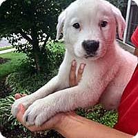 Adopt A Pet :: Aussie Finn - Chantilly, VA