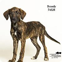 Adopt A Pet :: Brandy - Baton Rouge, LA