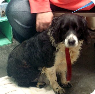 English Springer Spaniel/Border Collie Mix Dog for adoption in Greencastle, North Carolina - Chapel