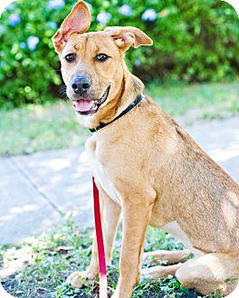 Shepherd (Unknown Type) Mix Dog for adoption in Houston, Texas - Ladybird