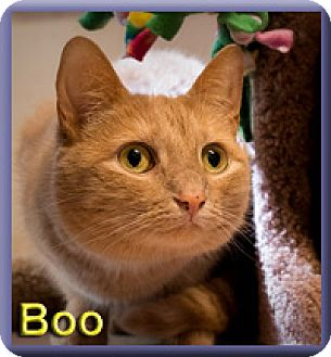 Domestic Shorthair Cat for adoption in Aldie, Virginia - Boo (aka Boop)
