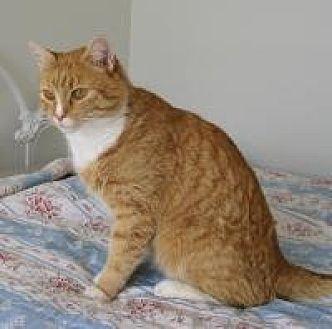 Domestic Shorthair Cat for adoption in Logan, Utah - Zeke