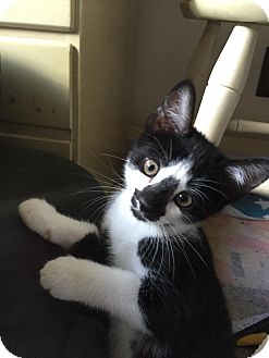 Domestic Shorthair Cat for adoption in Turnersville, New Jersey - Panda