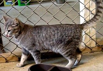 Domestic Shorthair Cat for adoption in Holly Springs, Mississippi - Carmela