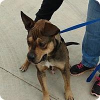 Adopt A Pet :: Knox - Jacksonville, TX
