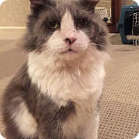 Maine Coon Cat for adoption in Herndon, Virginia - Clyve