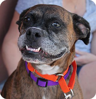 Boxer Mix Dog for adoption in Denver, Colorado - Millie