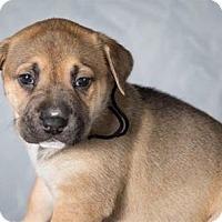 Adopt A Pet :: Darlin - Downey, CA
