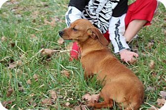 Dachshund Mix Dog for adoption in Windham, New Hampshire - Zelda (Reduced)