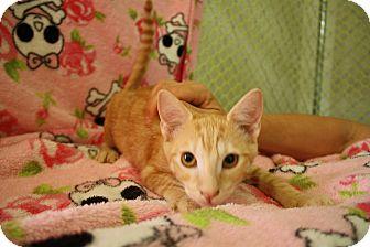 Domestic Shorthair Kitten for adoption in Fountain Hills, Arizona - GUIDO