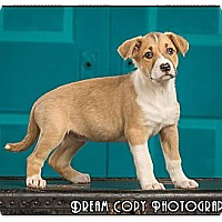 Adopt A Pet :: Penne - Owensboro, KY