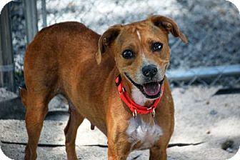 Hound (Unknown Type) Mix Dog for adoption in Bradenton, Florida - Pistol Annie