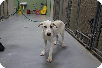 Labrador Retriever Mix Puppy for adoption in Odessa, Texas - A21 NAORA