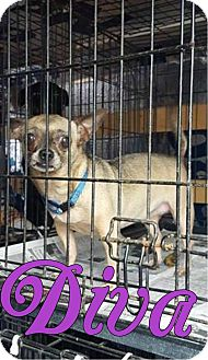 Chihuahua Mix Dog for adoption in Smithtown, New York - Diva