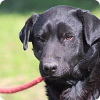Labrador Retriever Mix Dog for adoption in Glastonbury, Connecticut - Andy