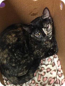 Domestic Shorthair Kitten for adoption in Mustang, Oklahoma - Velvet