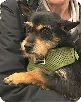 Schnauzer (Miniature)/Cairn Terrier Mix Dog for adoption in Boulder, Colorado - Zak-ADOPTION PENDING