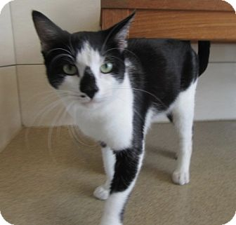 Domestic Shorthair Cat for adoption in North Richland Hills, Texas - Chaplin $25 to adopt