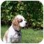 Photo 2 - Cocker Spaniel Dog for adoption in Tacoma, Washington - Tucker