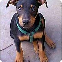 Adopt A Pet :: Dingo - dewey, AZ