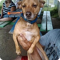 Chihuahua Mix Dog for adoption in East Smithfield, Pennsylvania - Pollo