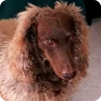 Dachshund Dog for adoption in Houston, Texas - Bernie Naboo
