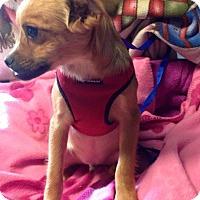 Adopt A Pet :: Blitzen - Kansas city, MO